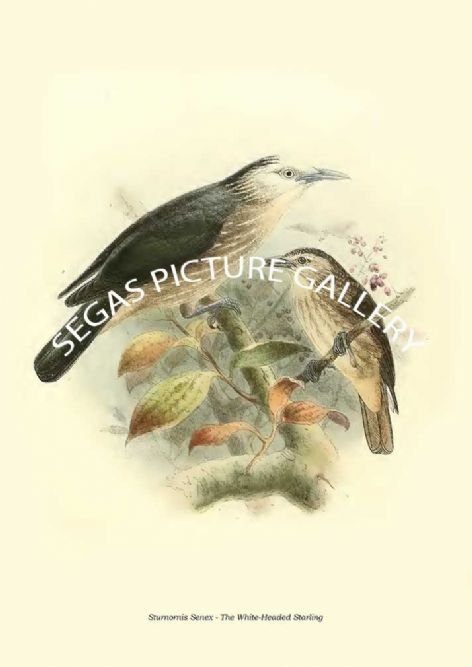 Fine art print of the STURNORNIS SENEX - THE WHITE-HEADED STARLING by Captain W Vincent Legge (1880)